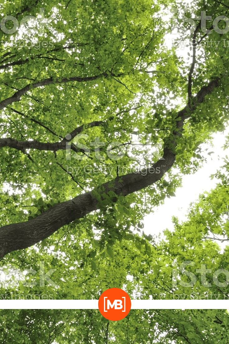 Bottom view of the tops of the leaves of trees.
