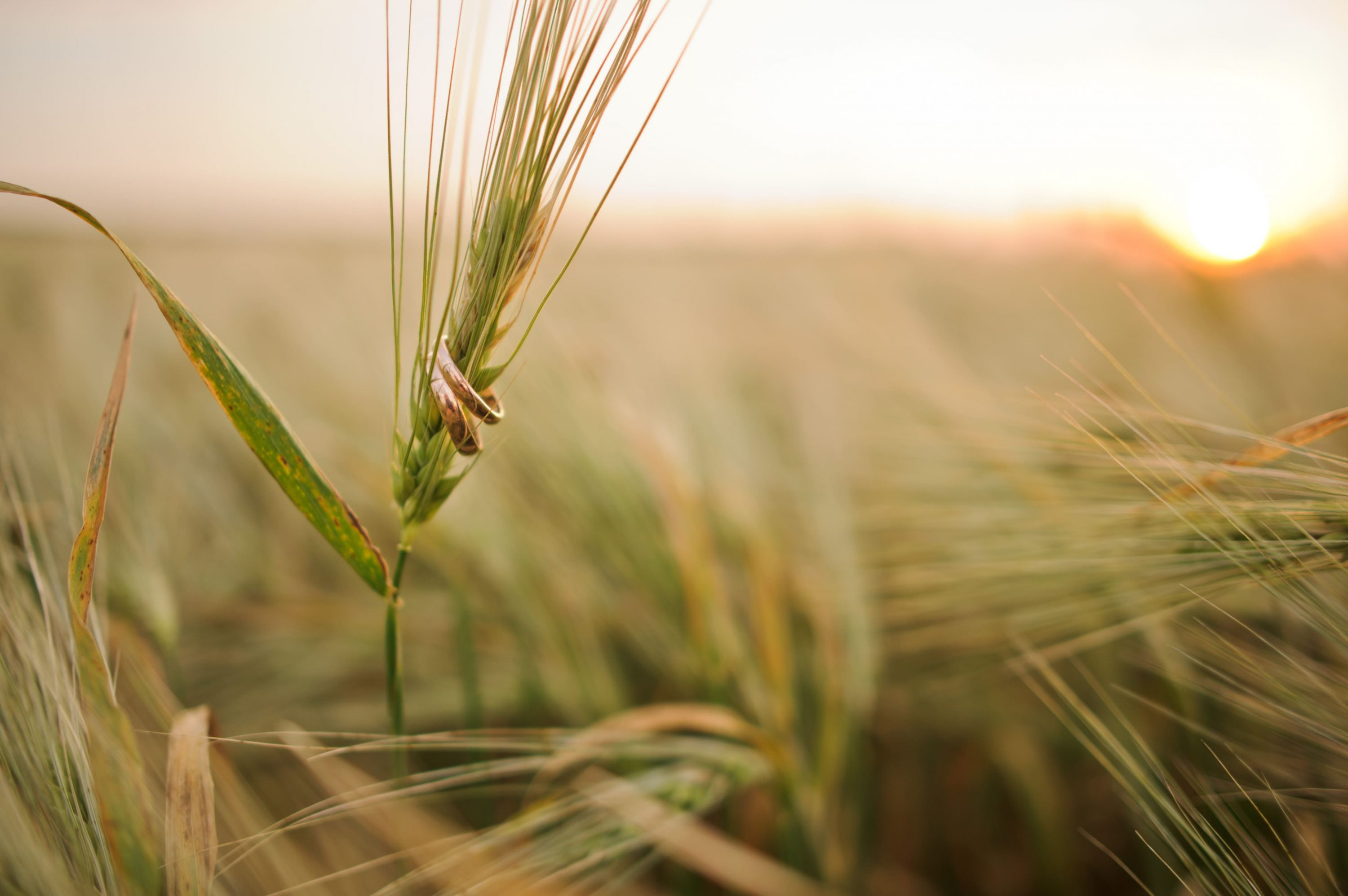 Wedding Rings on a Spikelet of Wheat Photo.