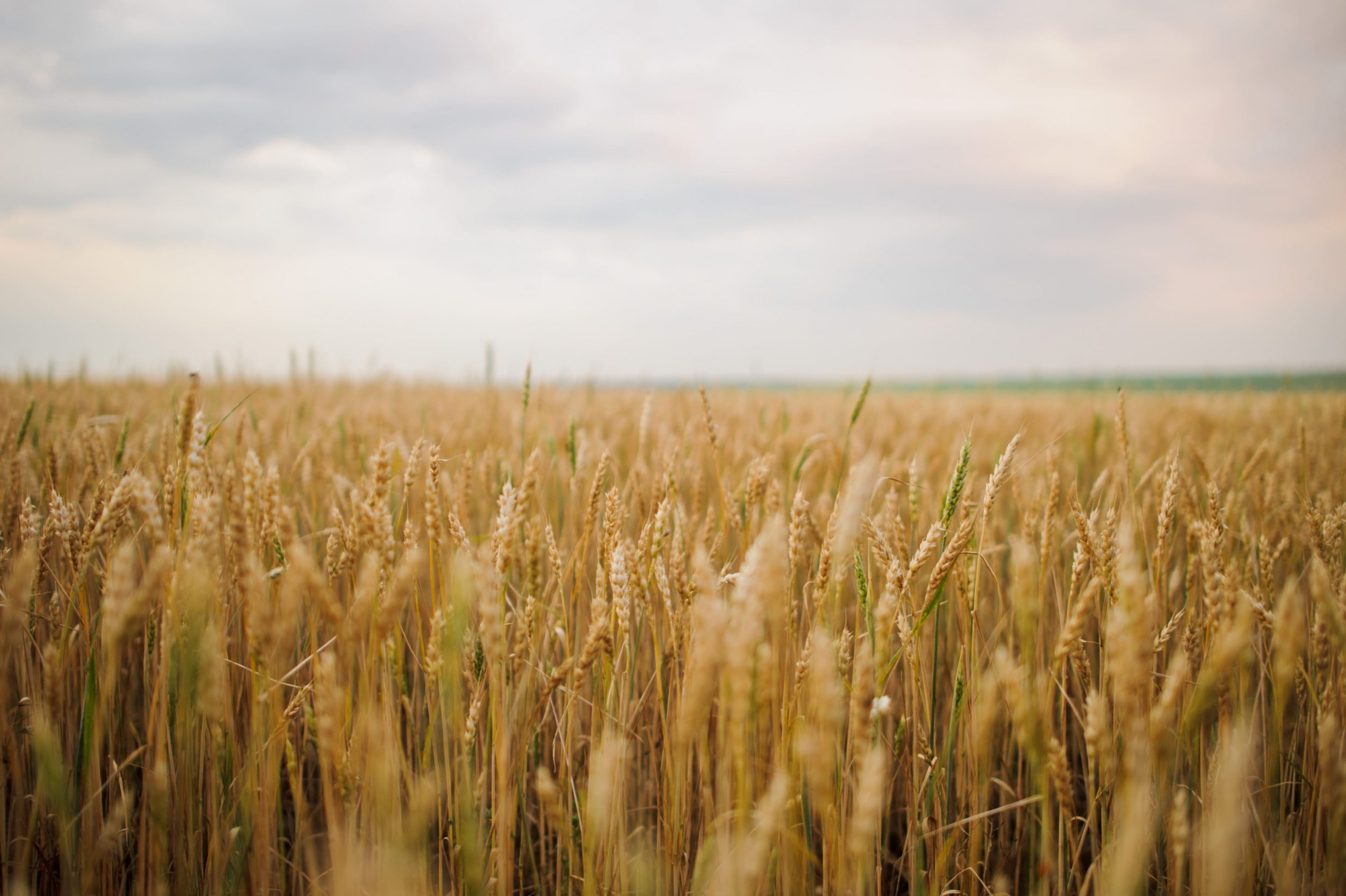 Wheat Photo HD Stock Wheat Picture  preview.