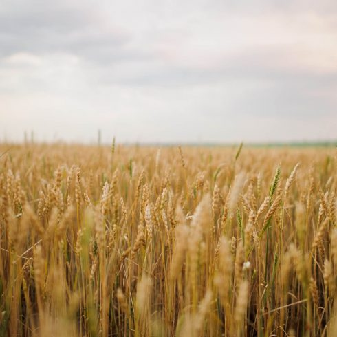 Wheat Photo HD Stock Wheat Picture cover image.